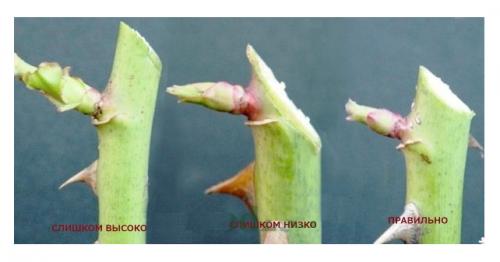 Правильный срез при обрезке розы
