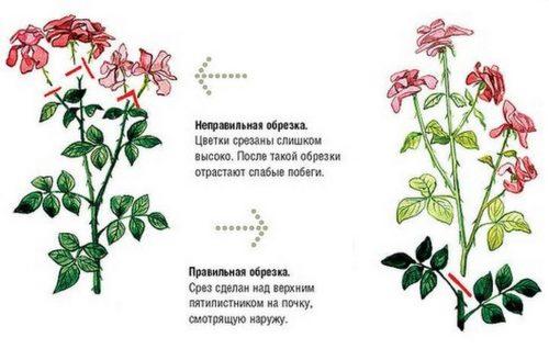 Обрезка роз после окончания их цветения