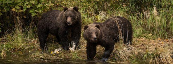 медведи у реки
