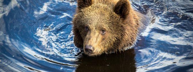 медведь в реке