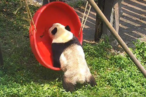 панда и качели