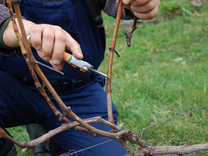 Как обрезать виноград осенью на черенки