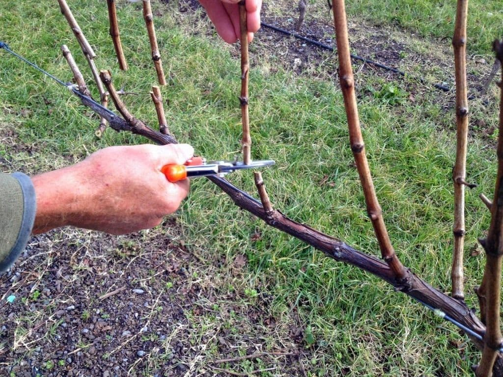 обрезка винограда после сбора урожая видео