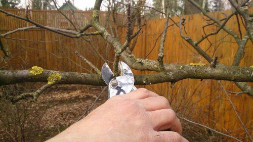 Обрезка ветвей груши