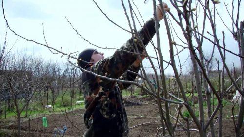 Ветви грушёвого дерева