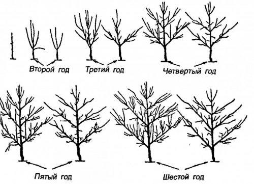 Типы обрезки в зависимости от возраста груши