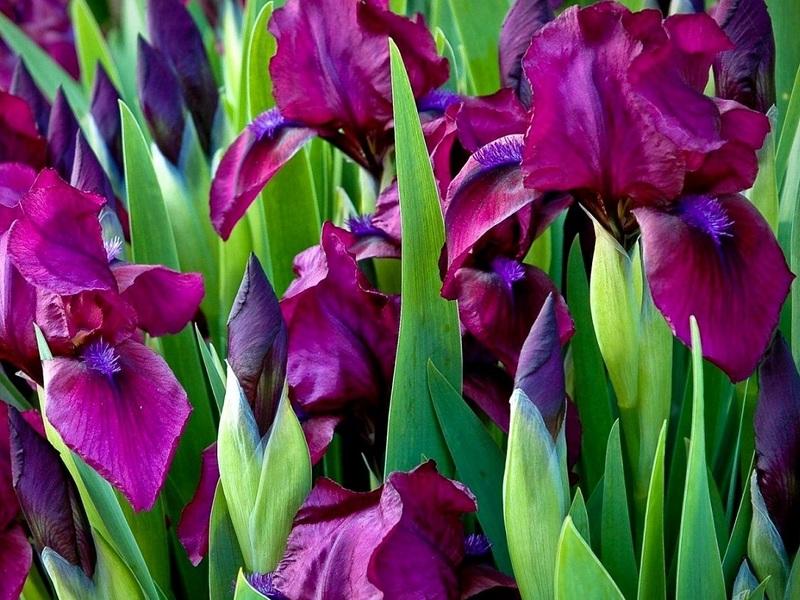 Когда можно делить и пересаживать ирисы после цветения, на другое место, весной, летом или осенью