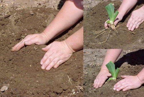 Высаживание делёнок в грунт