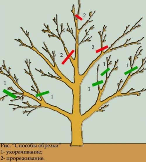 Схема среза грушёвых ветвей