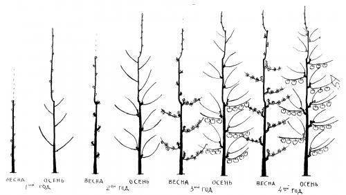 Схема обрезки колоновидной груши