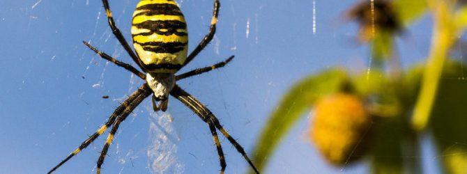 паук-оса