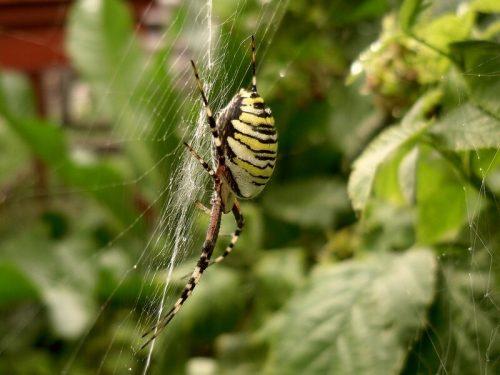 паук оса