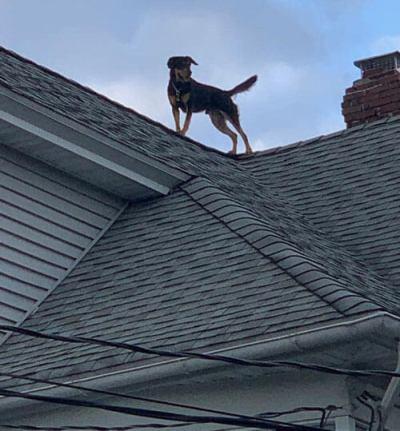 пёс на крыше