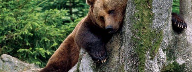 медведь у дерева
