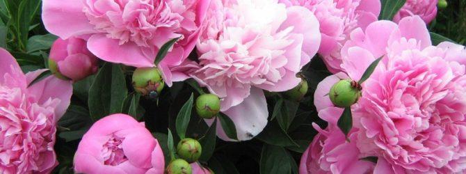 Уход за пионами после цветения