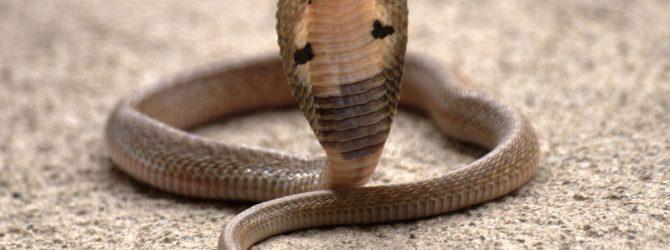 маленькая кобра
