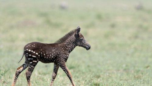 пятнистая зебра