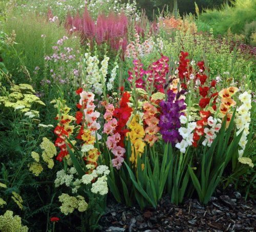 Гладиолусы в саду