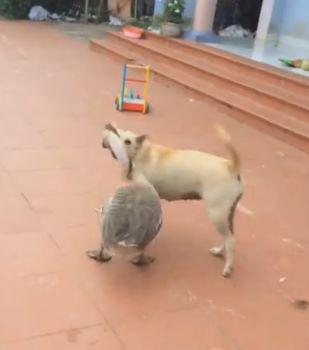 гусь и собака