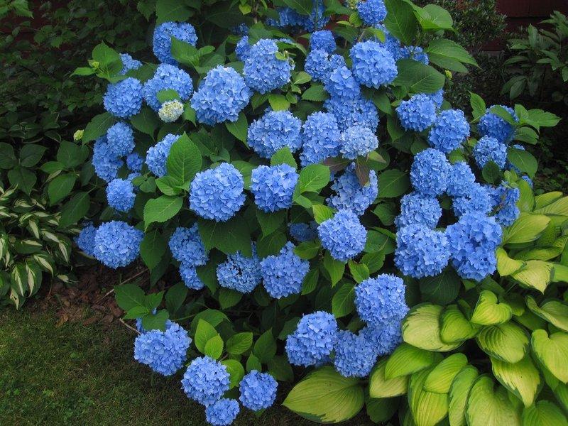 Чем подкормить гортензию в июне Виды подкормки перед цветением Как удобрять если не растет