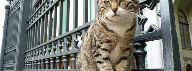 кот дворовой