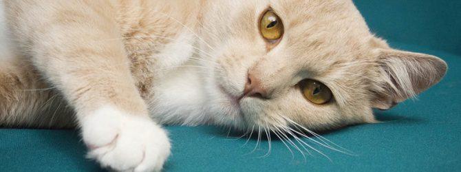 персиковый кот