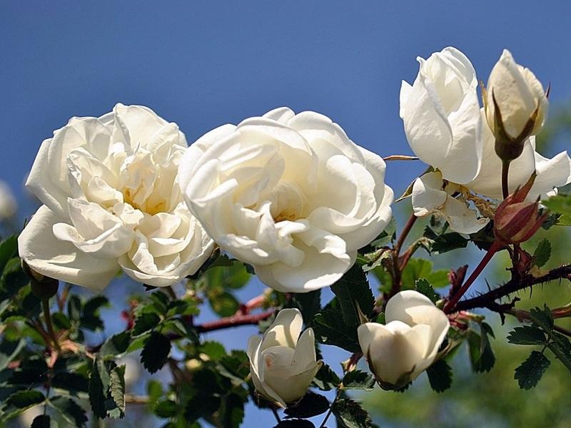 Прививка розы на шиповник осенью