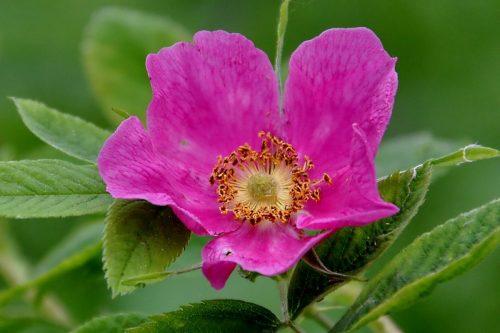 Шиповник с розовым цветком