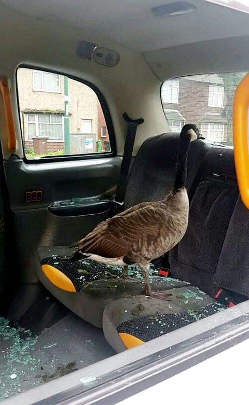 гусь в машине