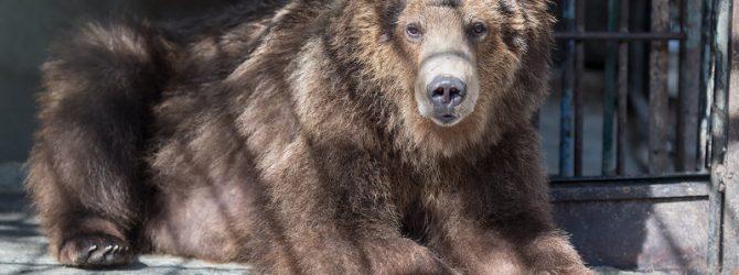 медведь дерется