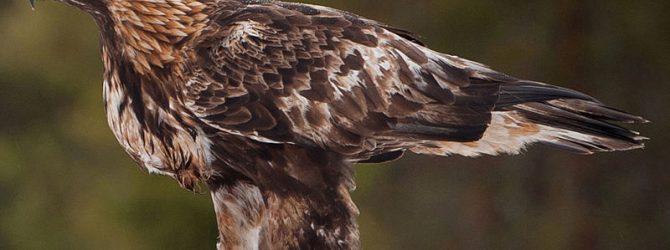 орел в альпах