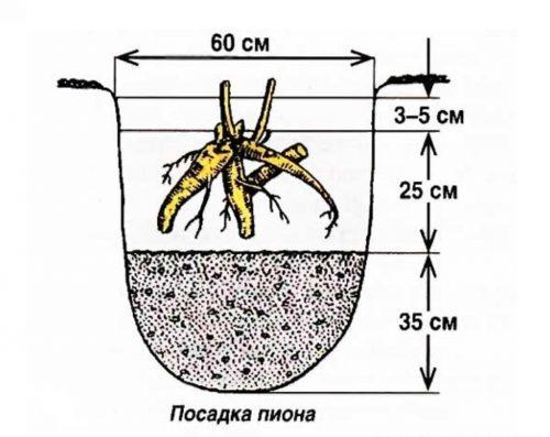 Схема посадки пионов осенью в открытый грунт