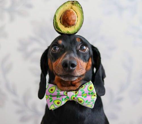 пёс и авокадо