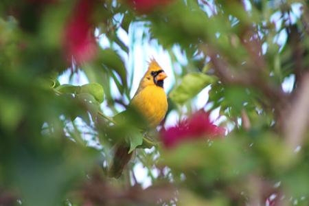 жёлтый красный кардинал