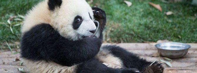 панда детеныш