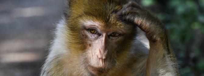 обезьяна в китае