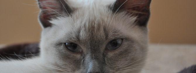 толстый сиамский кот