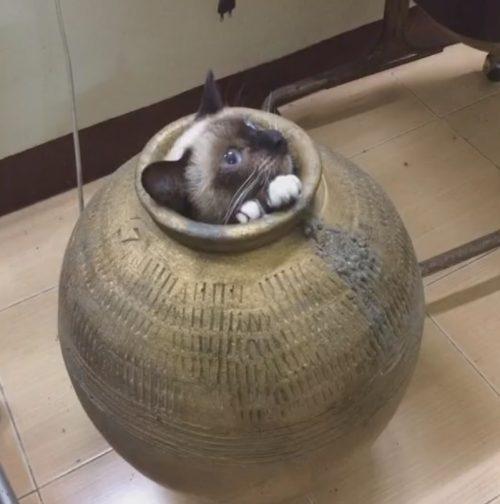 кот в горшке
