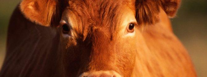 корова рыжая