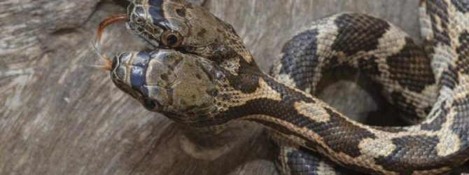 двухголовая змея