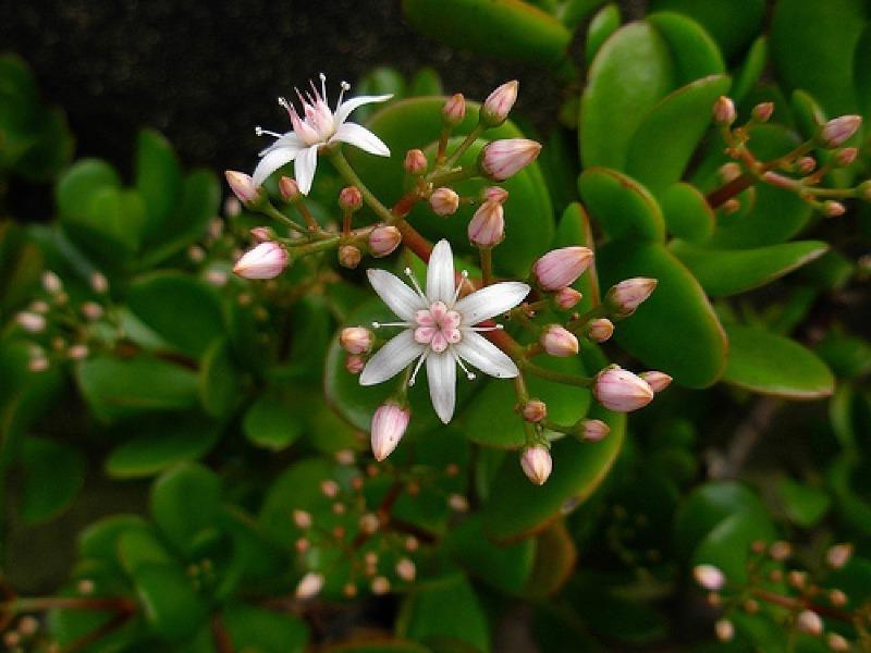 Денежное дерево уход в домашних условиях и цветение (фото), как и когда цветет толстянка и как сделать цветущей крассулу