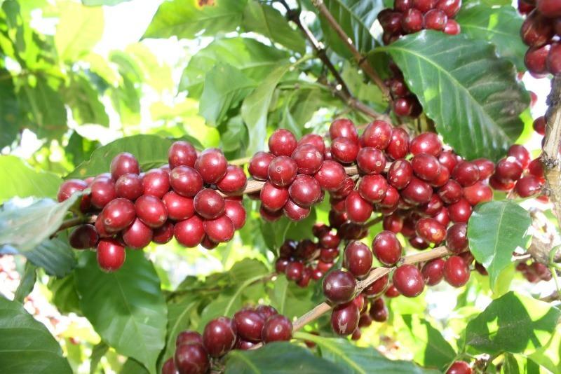 Кофейное дерево с красными ягодами