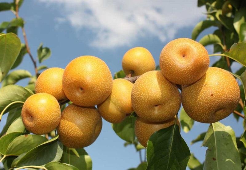 Японская груша (нихоннаси)