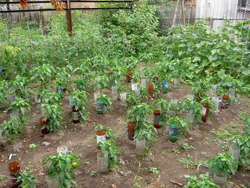полив томатов через пластиковые бутылки фото девушкам подарки ещё