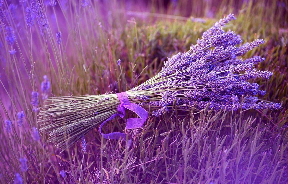Лаванда на какой год зацветает. Лаванда: выращивание из семян в домашних условиях. Рыхление и подкормка грунта.